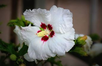 Afbeelding Altheastruik   'Red Heart'    - Hibiscus syriacus 'Red Heart'