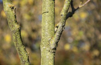 Afbeelding Valse Christusdoorn 'Draves' - Gleditsia triacanthos 'Draves'