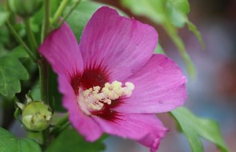 Afbeelding Altheastruik 'Russian Violet' - Hibiscus syriacus 'Russian Violet'