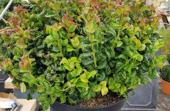 Afbeelding Druifheide 'Curly Red' - Leucothoe axillaris 'Curly Red'