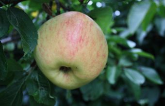 Afbeelding Appel 'Glorie van Holland' - Malus domestica 'Glorie van Holland'