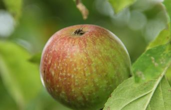 Afbeelding Appel 'Summerred' - Malus domestica 'Summerred'