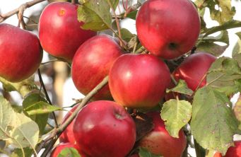 Afbeelding Appel 'Jonared' - Malus domestica 'Jonared'