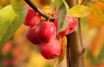 Afbeelding Sierappel 'Red Sentinel' - Malus 'Red Sentinel'