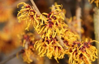 Afbeelding Toverhazelaar 'Orange Beauty' - Hamamelis intermedia 'Orange Beauty'
