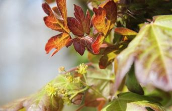 Afbeelding Veldesdoorn 'Red Shine' - Acer campestre 'Red Shine'