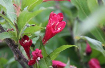 Afbeelding Weigela 'Red Prince' - Weigela florida 'Red Prince'