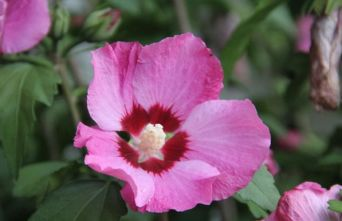 Afbeelding Altheastruik    'Pink Giant' - Hibiscus syriacus 'Pink Giant'