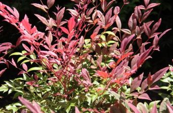Afbeelding Hemelse bamboe 'Obsessed' - Nandina domestica 'Obsessed'