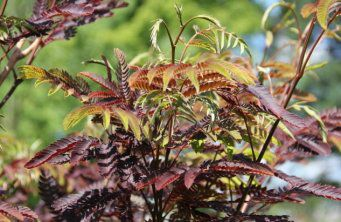 Afbeelding Perzische Slaapboom 'Summer Chocolate' - Albizia julibrissin 'Summer Chocolate'
