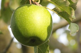Afbeelding Appel 'Granny Smith' - Malus domestica 'Granny Smith'