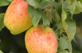 Afbeelding Appel 'Princess Noble' - Malus domestica 'Princesse Noble'