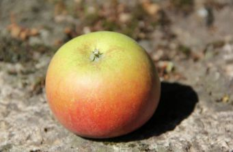 Afbeelding Appel 'Idared' - Malus domestica 'Idared'