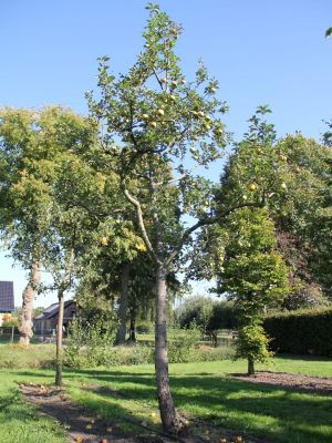 Afbeelding Appel 'Lunterse Pippeling' - Malus domestica 'Lunterse Pippeling'