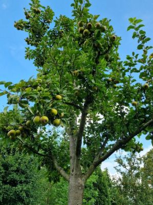 Afbeelding Appel 'Lunterse Pippeling' - Malus 'Lunterse Pippeling'