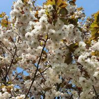 Prunus s. 'Shirofugen'
