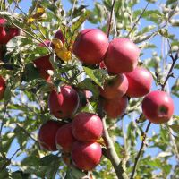 Malus domestica 'Jonared'