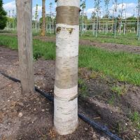 Betula albosinensis 'Fascination'