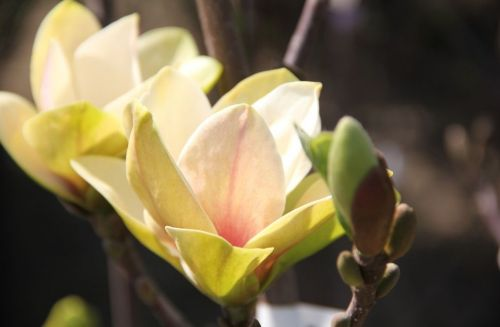 Magnolia Sunsation in prachtige bloei