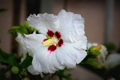 Altheastruik   'Red Heart'    - Hibiscus syriacus 'Red Heart'