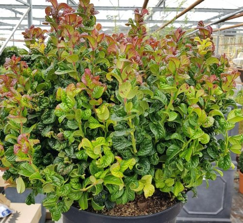 Druifheide 'Curly Red'