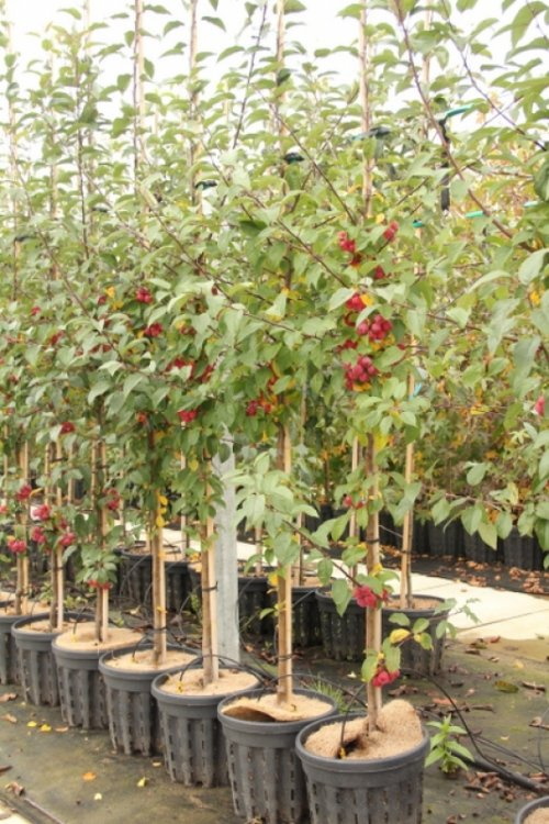 Sierappel 'Red Sentinel' - Malus 'Red Sentinel'