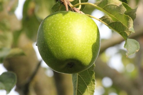 Appel 'Granny Smith' - halfstam - Malus domestica 'Granny Smith'