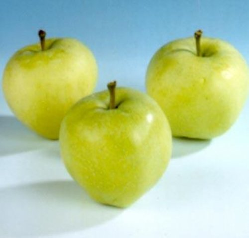 "Appel ""Yellow Transparent"" - leivorm - Malus domestica 'Yellow Transparent'"