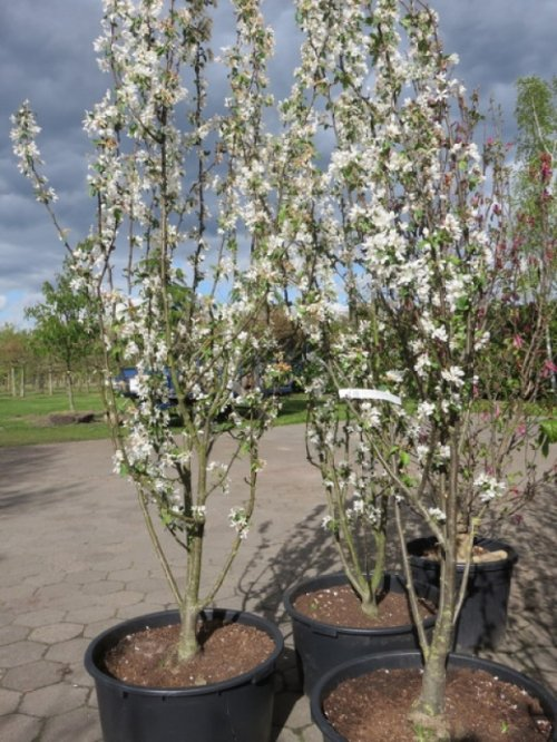 Sierappel 'Street Parade', meerstammig - Malus baccata 'Street Parade'