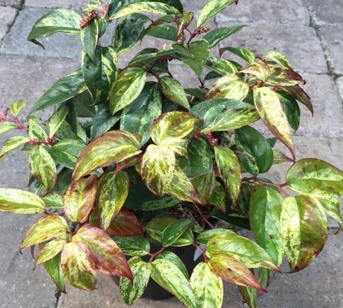 Druifheide 'Rainbow' heester in pot