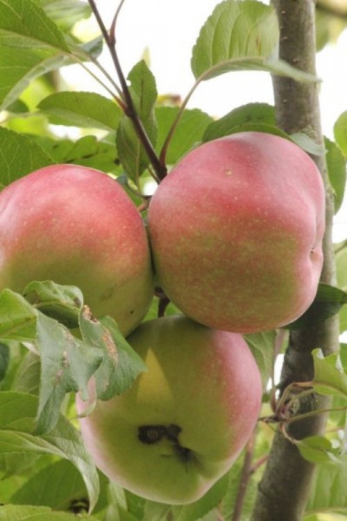 Appel 'Gloster', leivorm - Malus domestica 'Gloster'