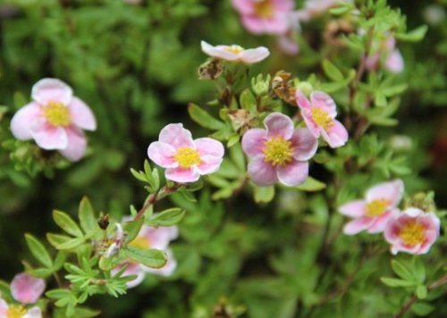 Ganzerik 'Pink Queen' - Potentilla fruticosa 'Pink Queen'