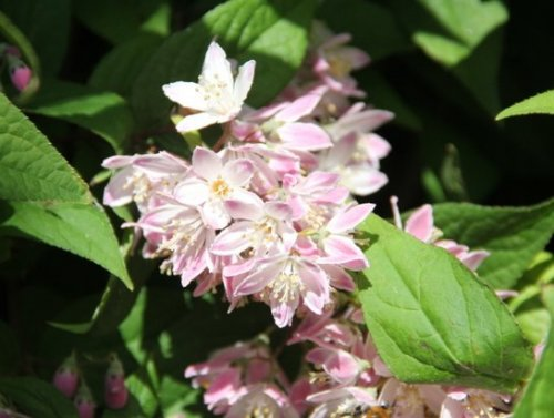 Bruidsbloem  'Strawberry Fields' - Deutzia hybrida 'Strawberry Fields'