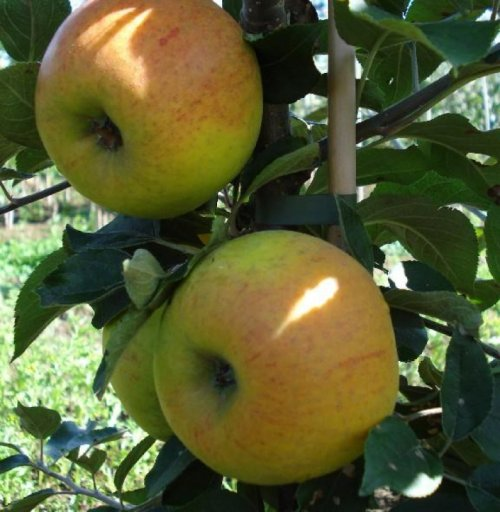 Appel 'Golden Permain' - laagstam - Malus domestica 'Golden Permain'