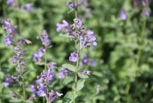 Kattenkruid 'Walker's Low' - Nepeta 'Walker's Low' per kist á 24 st.