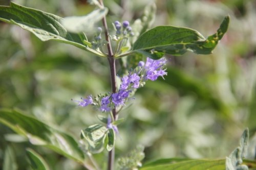 Blauwe spirea 'Heavenly Blue' - Caryopteris x clandonensis 'Heavenly Blue'