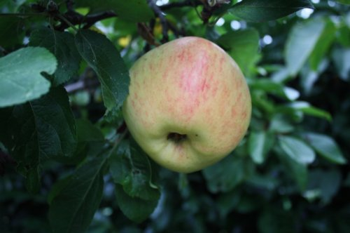 Appel 'Glorie van Holland' - laagstam  - Malus domestica 'Glorie van Holland'