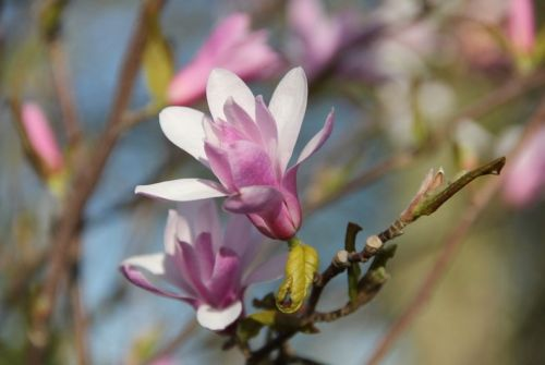 Magnolia 'Leonard Messel' in volle bloei