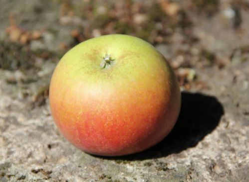 Appel 'Idared' - Malus domestica 'Idared'