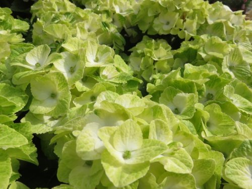 Hortensia 'Magical Noblesse' in volle bloei