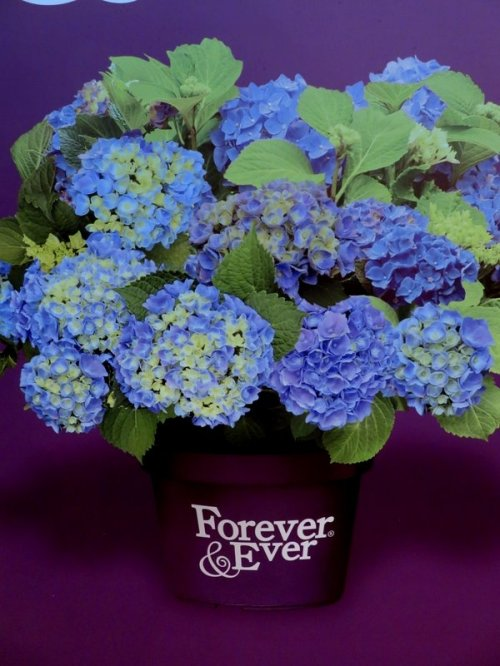 Hortensia Forever & Ever Blue