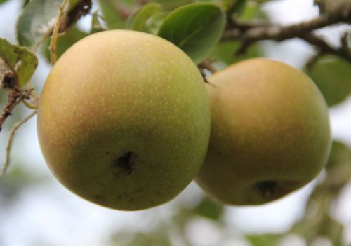 Appel 'Lunterse Pippeling' - laagstam - Malus domestica 'Lunterse Pippeling'