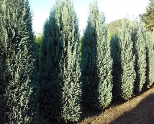 Blauwe Californische cypres - Chamaecyparis lawsoniana 'Columnaris'