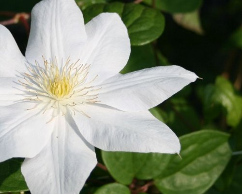 Bosrank 'Madame Le Coultre' - Clematis 'Madame Le Coultre'