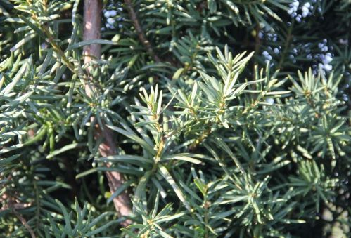 Taxus 'Hicksii', haagplant - Taxus media 'Hicksii'