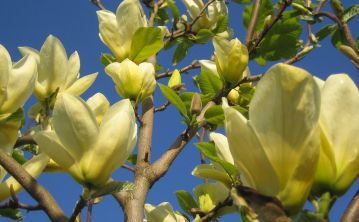 Magnolia Yellow River