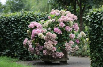 Afbeelding Hortensia Forever & Ever Pink - Hydrangea Forever & Ever Pink