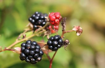 Afbeelding Doornloze braam 'Black Satin' - Rubus fruticosus 'Black Satin'