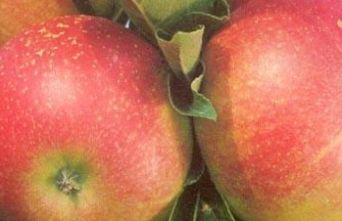 Afbeelding Appel 'Discovery' - Malus domestica 'Discovery'