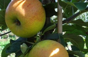 Afbeelding Appel 'Golden Permain' - Malus domestica 'Golden Permain'